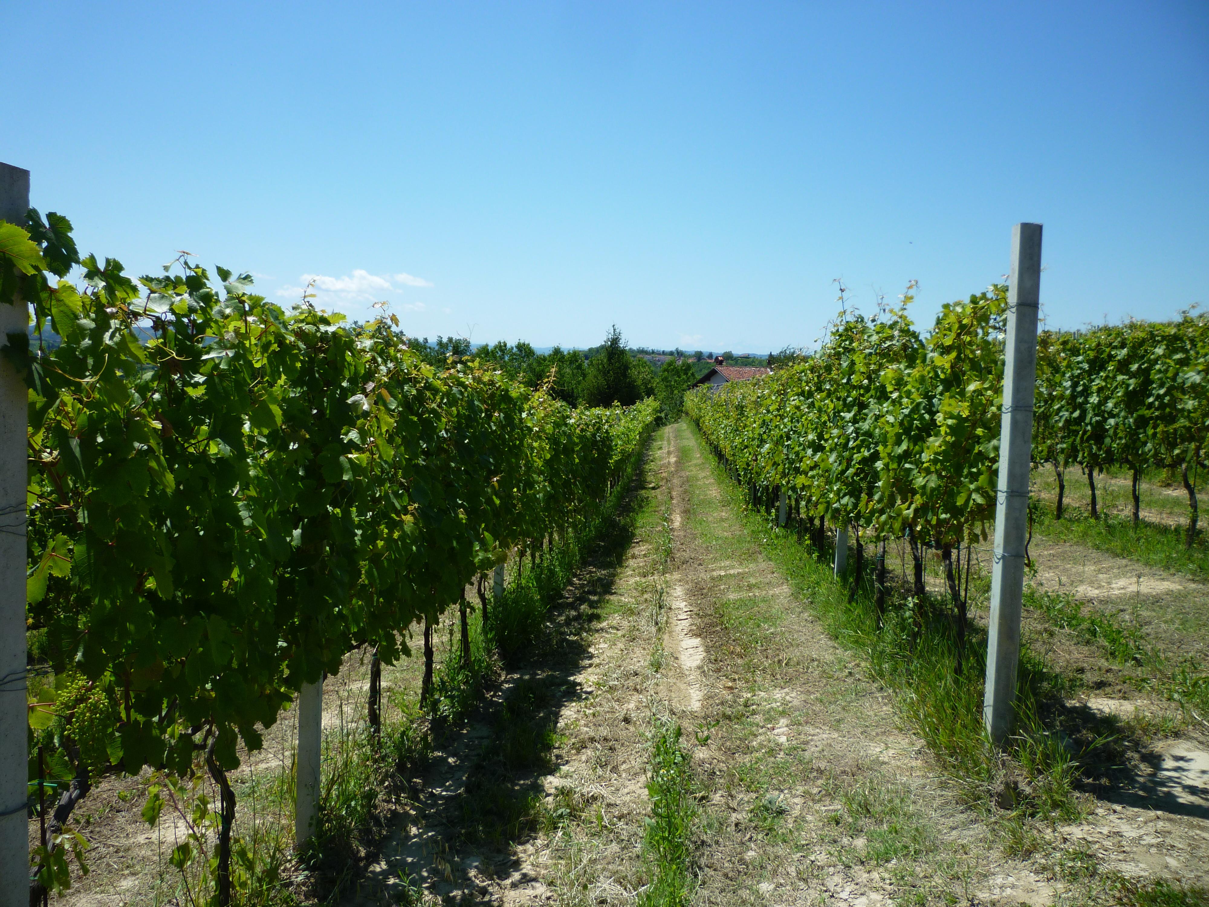 Ca del Bric - vini piemontesi - vigne in estate